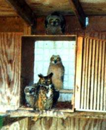 Foster Parent and Orphaned Great Horned Owls