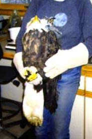 Holding a rescued Bald Eagle