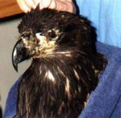 Young Bald Eagle with Pox lesions